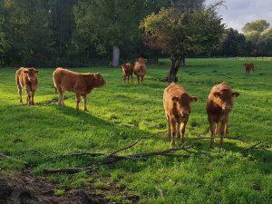 Einer unserer geschätzten regionalen Partner ist der Kaatzhof aus Kempen. Vor etwa 20 Jahren hat sich dort eine Limousin-Mutterkuhaltung mit angegliederter Mast von Rindern und Bullen entwickelt. Wir beziehen dort unser Rindfleisch her. Vorbeischauen lohnt sich!
